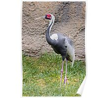 Rare Red-crowned Crane Poster