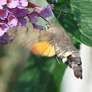 Humming Bird Hawk Moth 3 by jesika