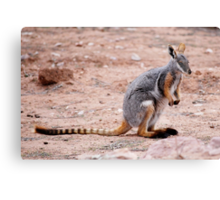 'Yellow Footed Rock Wallaby' Canvas Print