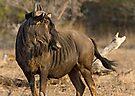 Wildebeest by Michael  Moss