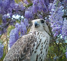 falco4 by FalcoPeregrinus