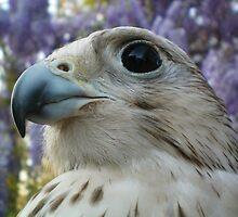 falco5 by FalcoPeregrinus
