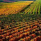 Golden vineyard  by i l d i    l a z a r