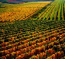 Golden vineyard  by i l d i    l a z a r