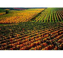 Golden vineyard  Photographic Print