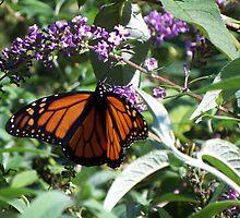 Late Season Traveler Monarch 2 by WalnutHill