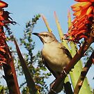 Mockingbird on Aloe Vera by jsmusic