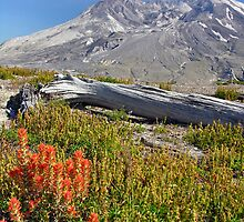 indian paintbrush and mt. st. helens by 1busymom
