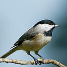Carolina Chickadee Clutching a Seed by Bonnie T.  Barry