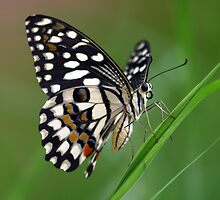 Lime Butterfly by David Clark