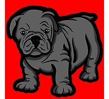 Grumpy Bull Dog Puppy Grey Photographic Print