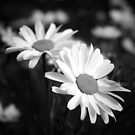 Black and white daisies by Mitch  McFarlane