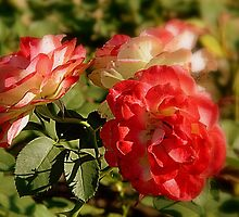 Floribunda - Roses     ^ by ctheworld