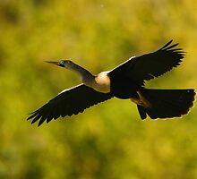 Anhinga in Flight by William C. Gladish