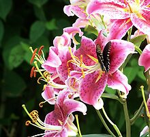 Star Gazer Lily with Spicebush swallowtail butterfly by mstinak