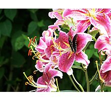 Star Gazer Lily with Spicebush swallowtail butterfly Photographic Print