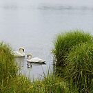 Swan Love by Sunshinesmile83