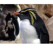 Rockhopper Penguin Photographic Print
