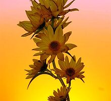 sunflower at sunset by SandyJohnson