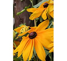 Black-eyed Susans I Photographic Print