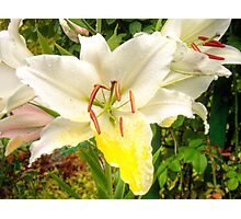 White Lily in the garden 12 Photographic Print