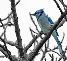 Blue Jay on a Gray Day by Bonnie T.  Barry