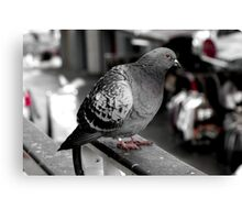 Red eyed market pigeon Canvas Print