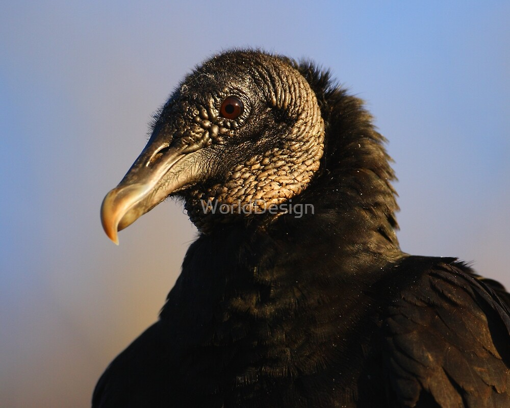 Black Vulture & Blue Sky by William C. Gladish