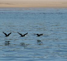 Cormorants in flight by AnnetteK