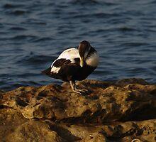 Eider Duck on Rocks by Adrian Wale