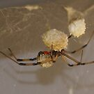 Brown Wideo Spider - (Latrodectus geometricus) Button Spider - La Mirada, CA USA by leih2008