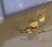 Brown Widow Spider - waiting for her eggs to hatch! OH My! by leih2008