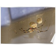Brown Widow Spider - waiting for her eggs to hatch! OH My! Poster