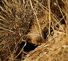 animals #1, echidna or spiny ant eater by stickelsimages