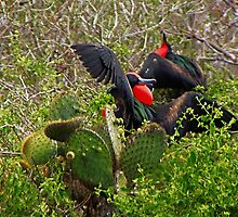 Great Frigate Birds Displaying by Yukondick