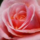 Tender Rose by Sharon House