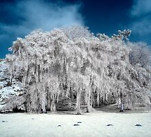 Willow in IR by Pete Latham