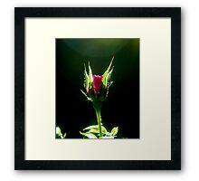 Little Red Rose Framed Print