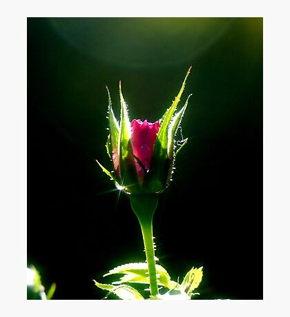 Little Red Rose Photographic Print