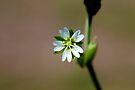 Mouse-ear Chickweed by Kathleen Daley