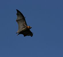 The wing of the bat by houenying