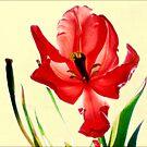 December's Red Tulip by LouiseK