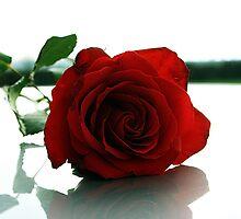 Valentines Rose by Evan Shortiss