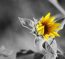 Sunflower by cinema4design