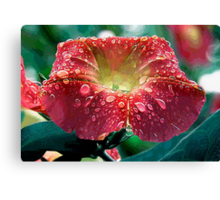 Abstract Red Morning Glory With Water Drops Canvas Print