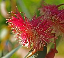 Red Eucalypt by kalaryder