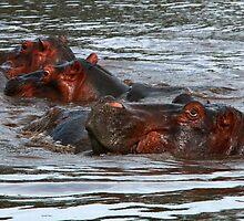 Happy Hippo's in Africa by Maureen Clark