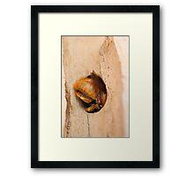 Half in, half out (Carpenter Bee) Framed Print