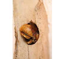 Half in, half out (Carpenter Bee) Photographic Print