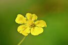 Common Cinquefoil by Kathleen Daley